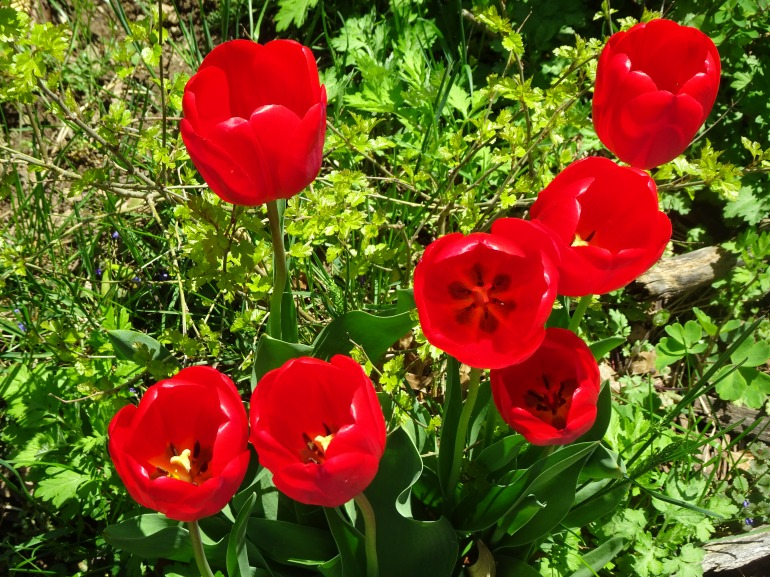 DSC04465 VERY GOOD RED TULIPS 7 GOOD USE
