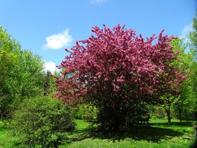 DSC04486 PURPLE PLUM TREE IN BLOOM GOOD