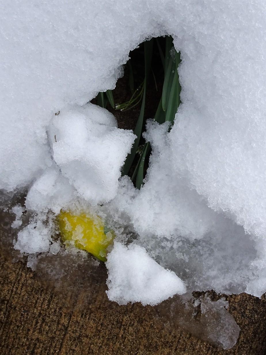 defiant daffodils…