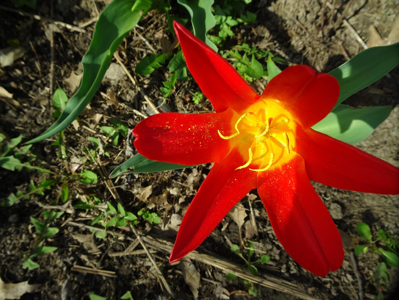 DSC01531 (1) red tulip large center